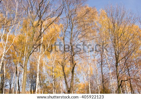 a birch forest during autumn seson in Poland - stock photo