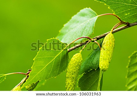A birch is in spring with green leaves and rings - stock photo