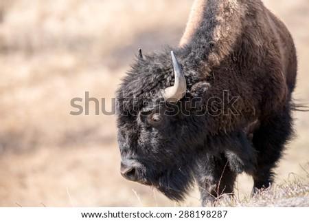 A bison overlooking the valley below; looking left - stock photo