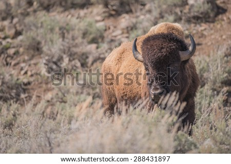 A bison stands behind some sagebrush looking at photographer - stock photo