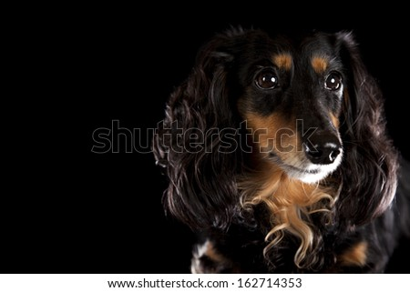 a black and brown dachshund on a black background - stock photo