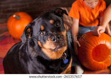 A black and mahogany female Rottweiler watching kids carve halloween pumpkins. - stock photo