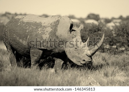 A black and white adult male rhino stands side on and stares down another in this black and white photo taken in South Africa while on safari. - stock photo