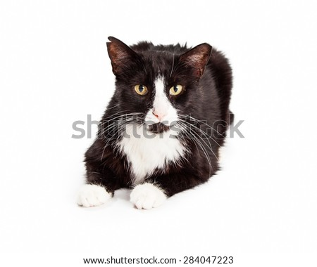 A black and white cat with ear tipped to indicate that it is feral and has been sterilized.  - stock photo