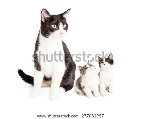 A black and white domestic short hair cat sitting and looking off to the side with two cute little kittens looking up at her - stock photo