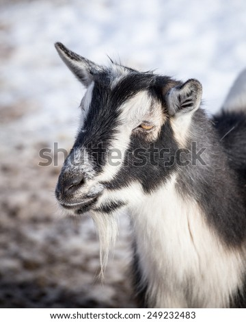 A black and white goat on a farm in winter. - stock photo