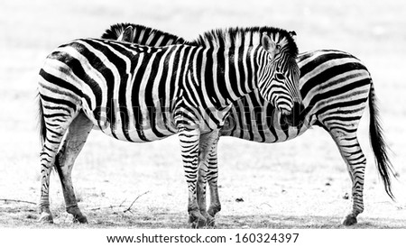 A black and white image two adult zebra standing next to each other - stock photo