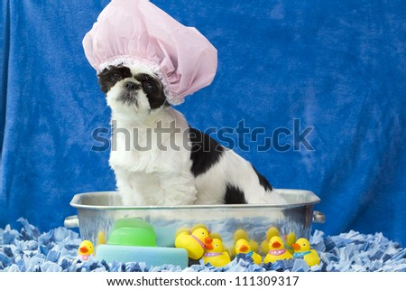 A black and white puppy sitting in a bath tub with hair cap on and rubber duckies around. - stock photo