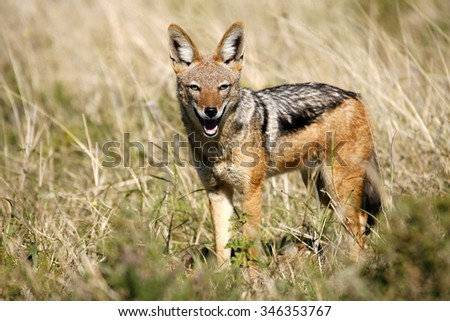 A black backed Jackal in this side on landscape portrait of this unique mammal.Taken in Addo elephant national Park,eastern cape,south africa - stock photo