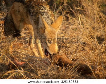 A black-backed jackal stealing scraps from a lion kill in Madikwe Game Reserve, South Africa. - stock photo