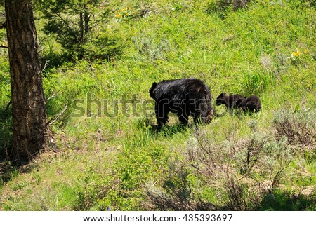 A black bear and cubs crossing a hillside, Wyoming, USA.  - stock photo