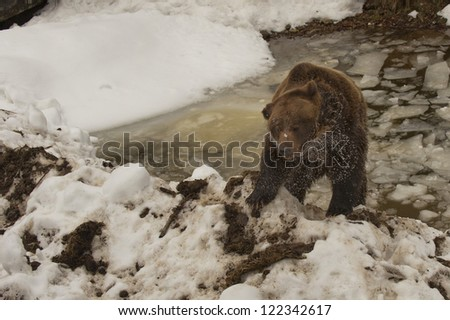 A black bear brown grizzly portrait in the snow and ice while looking at you - stock photo