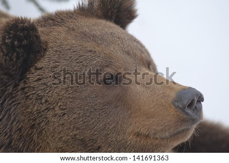 A black bear brown grizzly portrait in the snow while looking at you - stock photo