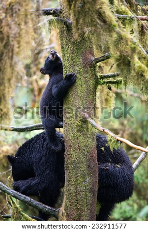 A black bear cub (coy) hangs onto a tree, looking up, while his mother sits on branches below him in the rainforest - stock photo