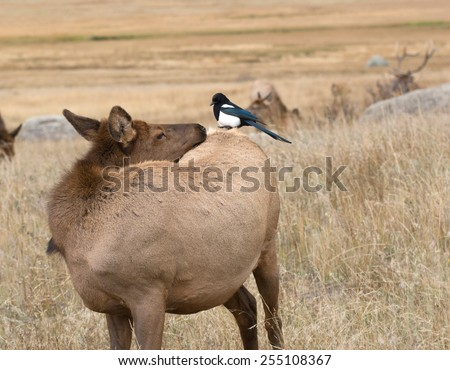 A black-billed magpie perched on the back of an elk in Rocky Mountain National Park near Estes Park, Colorado - stock photo