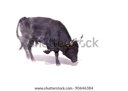 A black bull paws up dust preparing to charge, with shadow - stock photo