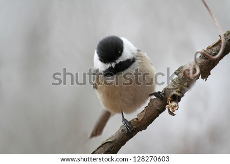 A Black-capped Chickadee perched on a tree branch - stock photo
