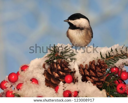 A Black- capped Chickadee (Poecile atricapillus) on a festive spruce bough with pinecones and red berries. - stock photo