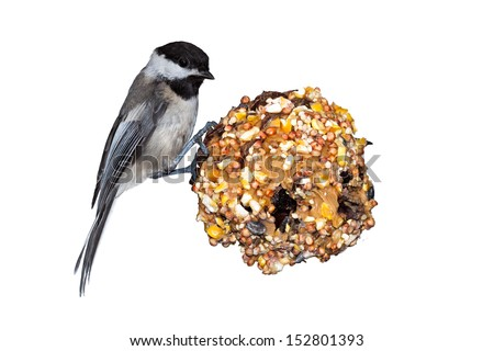 A black capped chickadee sits on a pine cone home made bird feeder that is filled with peanut butter and seed. White background - stock photo