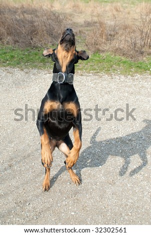 a black doberman jumping in the air - stock photo