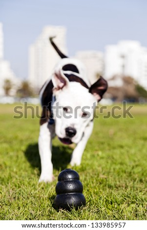 A black dog chew toy at the front of the frame, with a Pit Bull running towards it. - stock photo