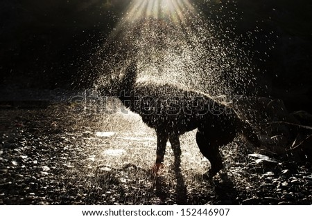 A Black Dog Shaking in the Sunlight - stock photo