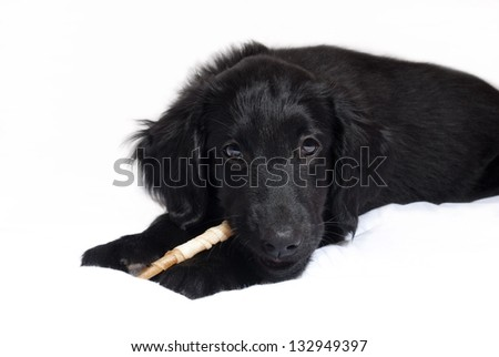 a black flatcoated retriever puppy chewing on something, isolated - stock photo