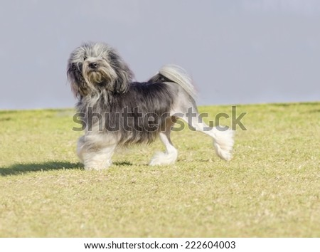 A black,gray and white petit chien lion (little lion dog) walking on the grass.Lowchen has a long wavy coat groomed to resemble a lion, i.e. the haunches, back legs and part of the tail are shaved. - stock photo