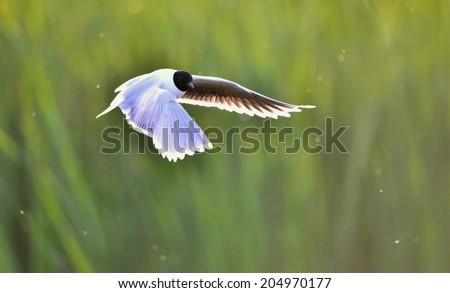 A Black headed Gull on flying.(Larus ridibundus) - stock photo