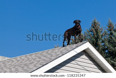 A black lab barking from the peak of the roof of his owners house providing security. - stock photo