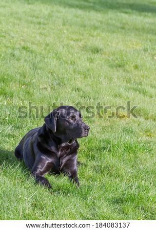 A Black Labrador Retriever Dog Resting on Green Grass.Copy Space. - stock photo