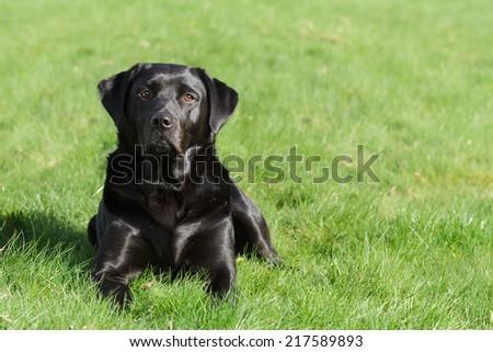 A Black Labrador Retriever Dog Resting Outdoors. - stock photo
