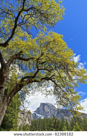 A Black Oak tree in Yosemite Valley frames a view of Half Dome in the distance in Yosemite National Park, California - stock photo