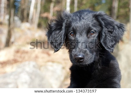 a black puppy dog looking something over - stock photo