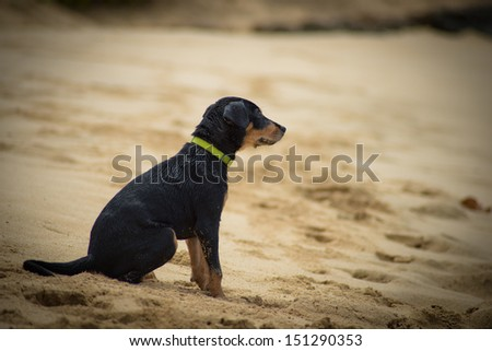 A black puppy sits on the sand waiting for her master. - stock photo