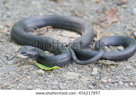 A black rat snake (Pantherophis obsoletus) found in the Shenandoah Valley in Virginia, USA.  - stock photo
