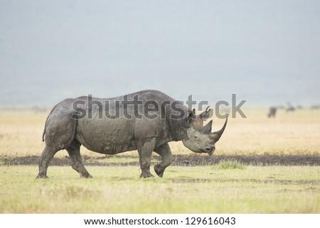 A Black Rhino (Diceros bicornis) walks in the rain at the Ngorongoro Crater in Tanzania - stock photo