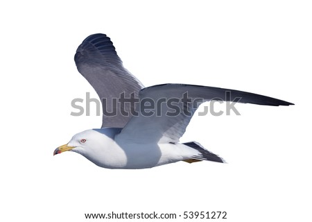A black-tailed gull flies by a white back - stock photo
