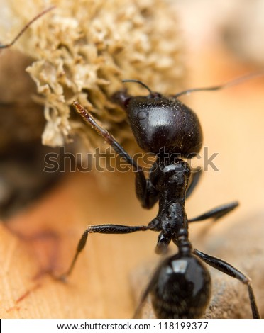 A black worker ant dragging vegetation to the colony - stock photo
