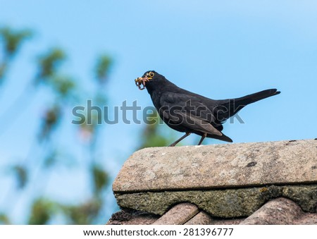 A blackbird brings home a worm for its young. - stock photo
