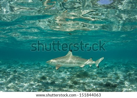 A Blacktip reef shark (Carcharhinus melanopterus) swims in clear, shallow water in Bora Bora, French Polynesia.  This species is surprisingly camouflaged in shallow habitats. - stock photo