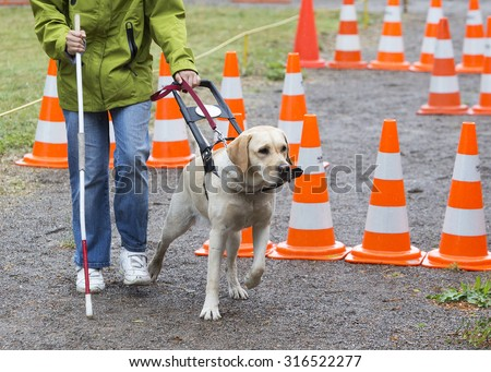 A blind person is led by her golden retriever guide dog during the last training for the dog. The dogs are undergoing various training before finally given to the physically disabled people.  - stock photo