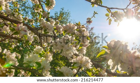 Blooming branch of apple tree in spring photo of blossoming tree