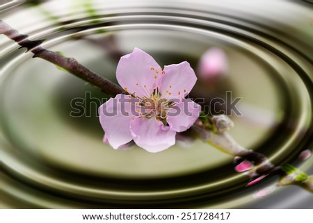 A blooming peach blossom, close-up   - stock photo