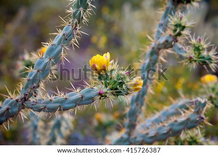A blooming Staghorn Cholla in the Arizona Sonoran Desert of  Phoenix.  The blooms are yellow and pink in color and the cactus looks almost blue in the late afternoon light.  - stock photo