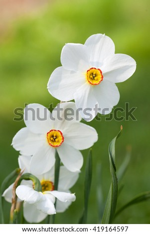 A blooming white daffodil on green background - stock photo