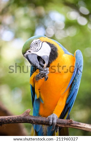 A blue and yellow macaw biting or cleaning its foot - stock photo