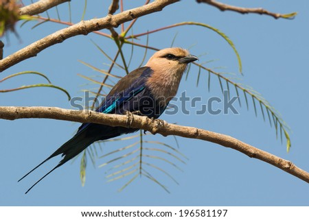 A Blue-Bellied Roller (Coracias cyanogaster) perched on a branch - stock photo