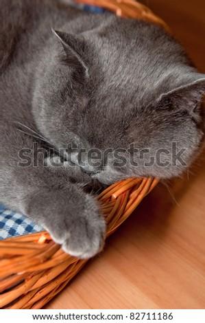 A blue British Shorthair cat, vertical shot. - stock photo