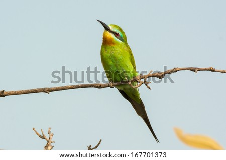 A Blue-Cheeked Bee-Eater (Merops persicus) perched on a branch - stock photo